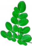 Moringa/Miracle Tree