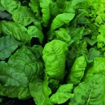 CHARD, PERPETUAL SPINACH
