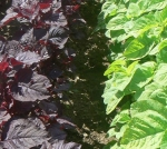 AMARANTH-RED LEAF