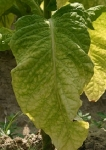 TOBACCO, GOLDEN BURLEY