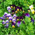 HEARTSEASE/VIOLET/PANSY