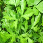 PARSLEY, ITALIAN FLAT LEAF