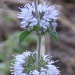 ENGLISH PENNYROYAL