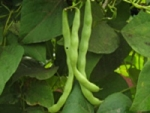Poamoho Green Bean