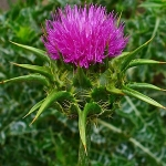 ST. MARY'S MILK THISTLE